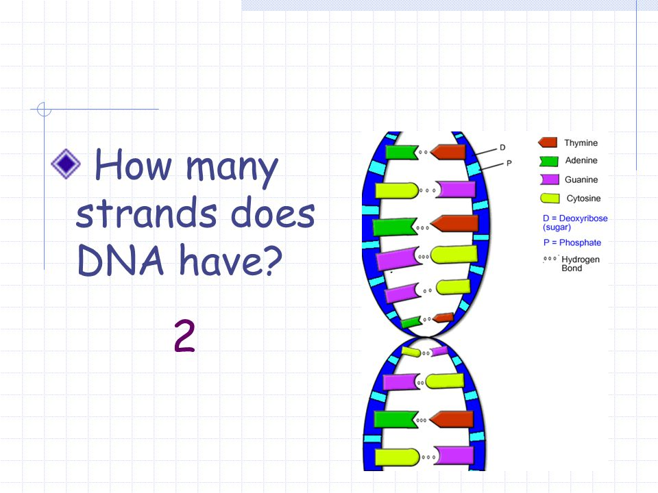 How many strands does DNA have 2