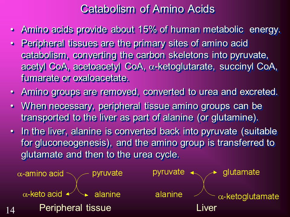 Catabolism of Amino Acids Amino acids provide about 15% of human metabolic energy.Amino acids provide about 15% of human metabolic energy.