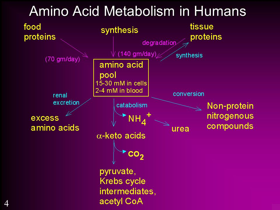 Amino Acid Metabolism in Humans 4