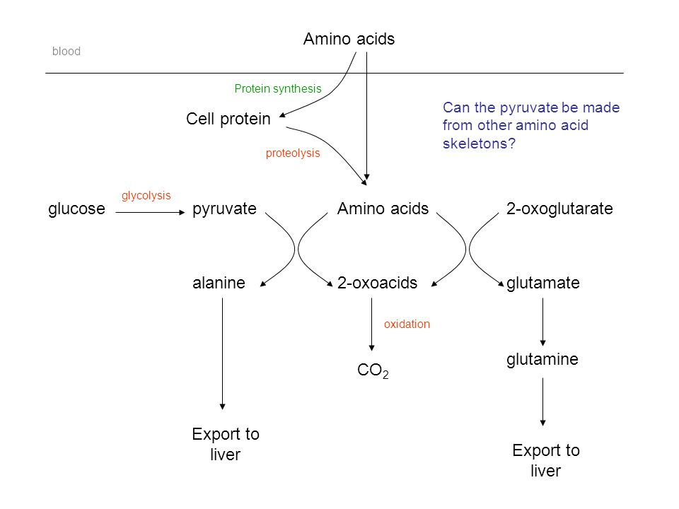 Amino acids Cell protein Amino acids 2-oxoacids CO 2 pyruvate alanine glucose2-oxoglutarate glutamate glutamine proteolysis Protein synthesis Export to liver Export to liver oxidation blood glycolysis Can the pyruvate be made from other amino acid skeletons