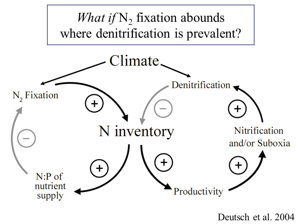 What if N 2 fixation abounds where denitrification is prevalent? Deutsch et al. 2004