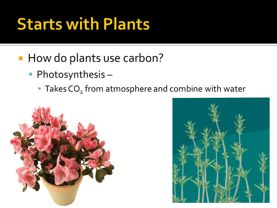  How do plants use carbon?  Photosynthesis – ▪ Takes CO 2 from atmosphere and combine with water