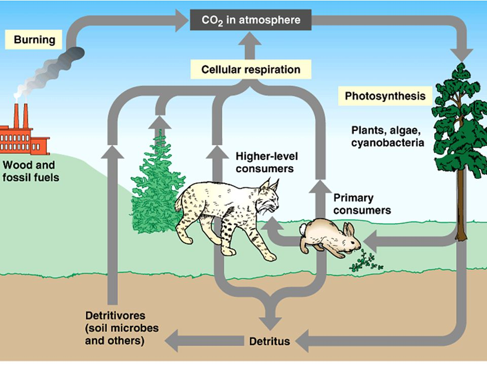 Nitrogen Cycle : Bacteria carry out many of the important steps in the nitrogen cycle, including the conversion of atmospheric nitrogen into a usable form, ammonia.