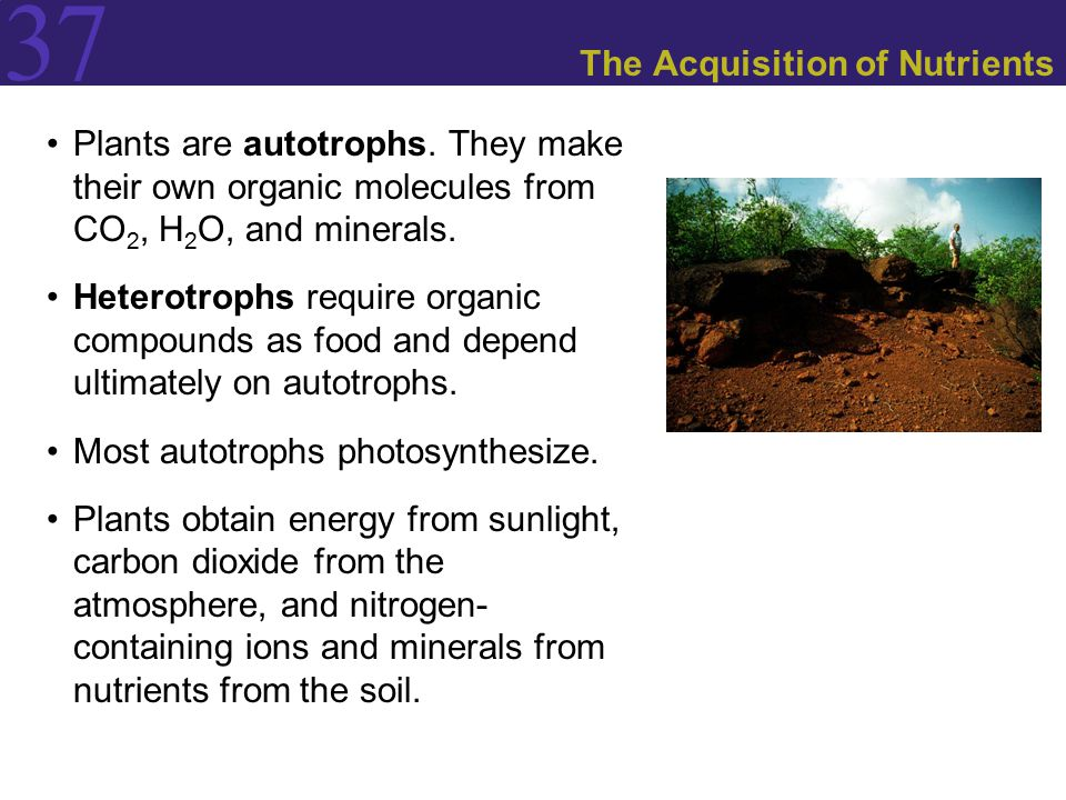 37 The Acquisition of Nutrients Plants are autotrophs.