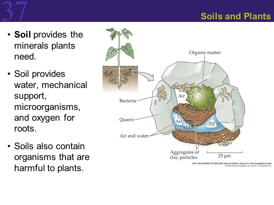 37 Soils and Plants Soil provides the minerals plants need.