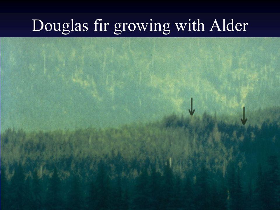 Douglas fir growing with Alder