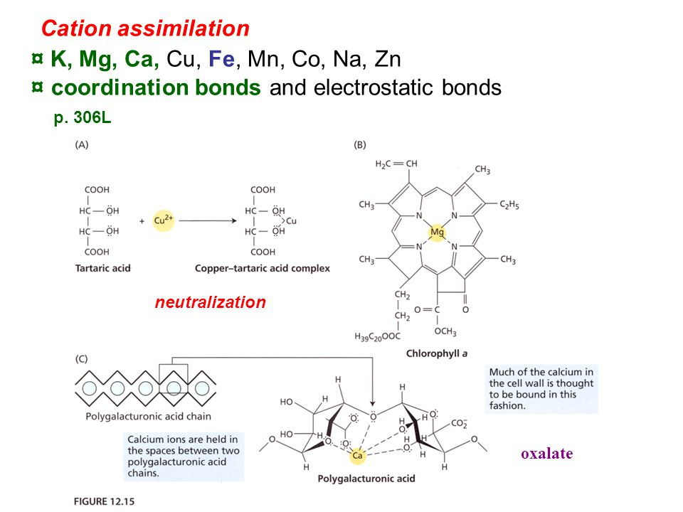 Cation assimilation ¤ K, Mg, Ca, Cu, Fe, Mn, Co, Na, Zn ¤ coordination bonds and electrostatic bonds p.