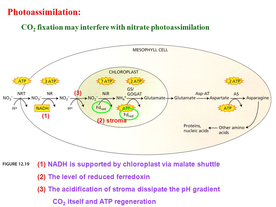 Photoassimilation: CO 2 fixation may interfere with nitrate photoassimilation (1) (1) NADH is supported by chloroplast via malate shuttle (2) The level of reduced ferredoxin (3) The acidification of stroma dissipate the pH gradient CO 2 itself and ATP regeneration (2) stroma (3)