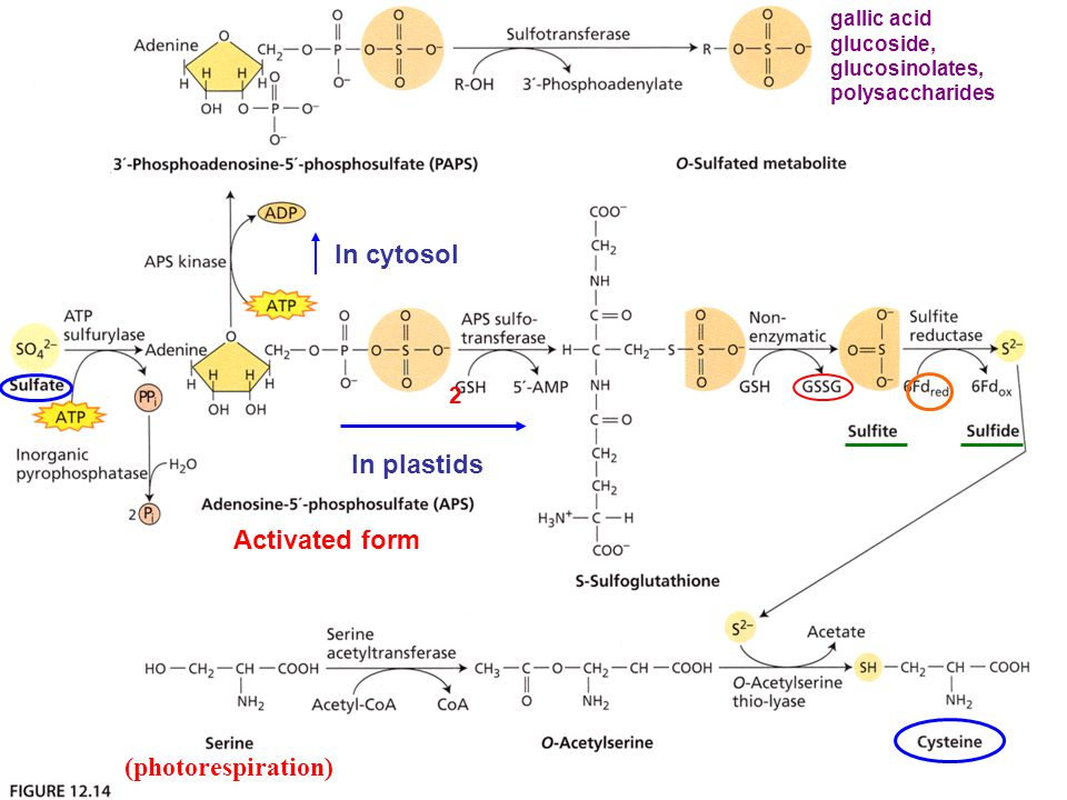 Activated form 2 In plastids In cytosol gallic acid glucoside, glucosinolates, polysaccharides (photorespiration)