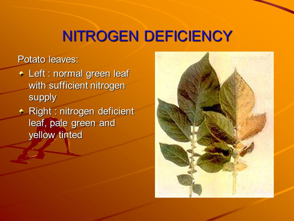 NITROGEN DEFICIENCY Potato leaves: Left : normal green leaf with sufficient nitrogen supply Right : nitrogen deficient leaf, pale green and yellow tinted