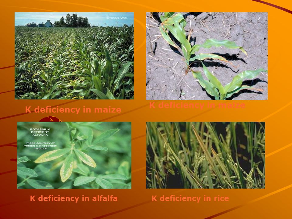 K deficiency in maize K deficiency in riceK deficiency in alfalfa K deficiency in maize