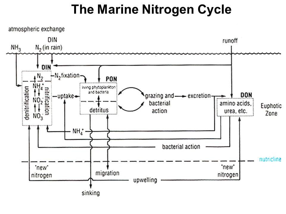 The Marine Nitrogen Cycle