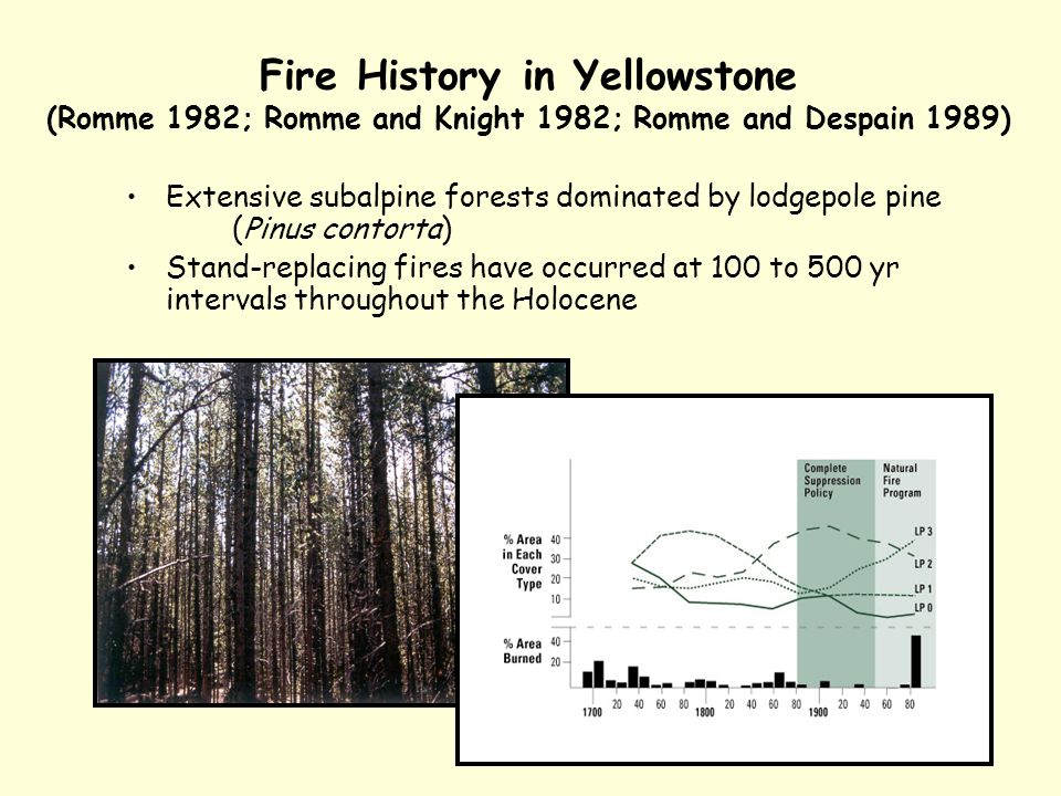 Fire History in Yellowstone (Romme 1982; Romme and Knight 1982; Romme and Despain 1989) Extensive subalpine forests dominated by lodgepole pine (Pinus contorta) Stand-replacing fires have occurred at 100 to 500 yr intervals throughout the Holocene