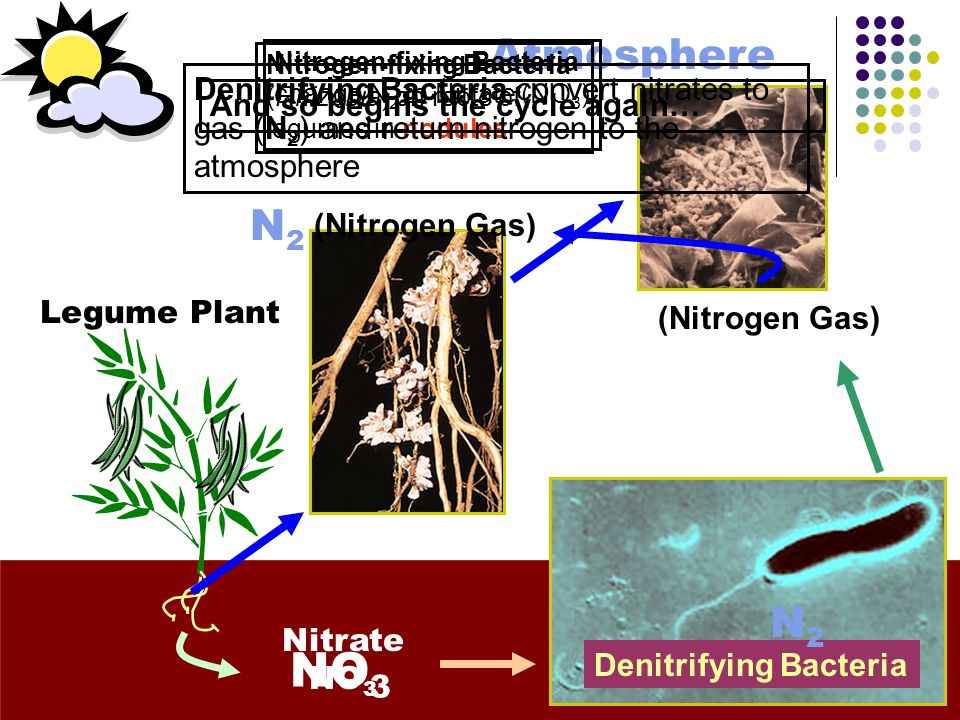 Atmosphere Nitrate NO 3 Nitrogen-fixing Bacteria (Rhizobia) on roots of legumes in nodules N2N2 Denitrifying Bacteria convert nitrates to nitrogen gas (N 2 ) and return it back to the atmosphere (70% of air is made of N 2 ) (Nitrogen Gas) Denitrifying Bacteria N2N2 (Nitrogen Gas) NO 3 Legume Plant Nitrogen-fixing Bacteria change N 2 to Nitrate (NO 3 ) And so begins the cycle again…