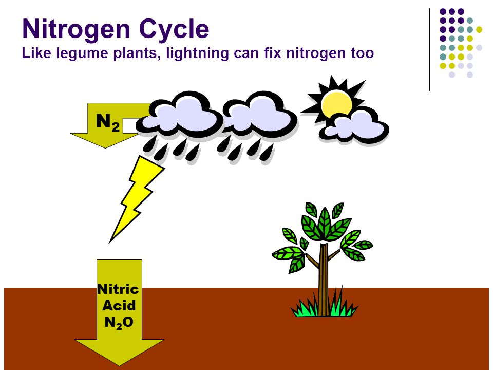 Atmosphere Nitrate NO 3 Nitrogen-fixing Bacteria (Rhizobia) on roots of legumes in nodules N2N2 Denitrifying Bacteria convert nitrates to gas (N 2 ) and return nitrogen to the atmosphere (Nitrogen Gas) Denitrifying Bacteria N2N2 (Nitrogen Gas) NO 3 Legume Plant Nitrogen-fixing Bacteria change N 2 to Nitrate (NO 3 ) And so begins the cycle again…