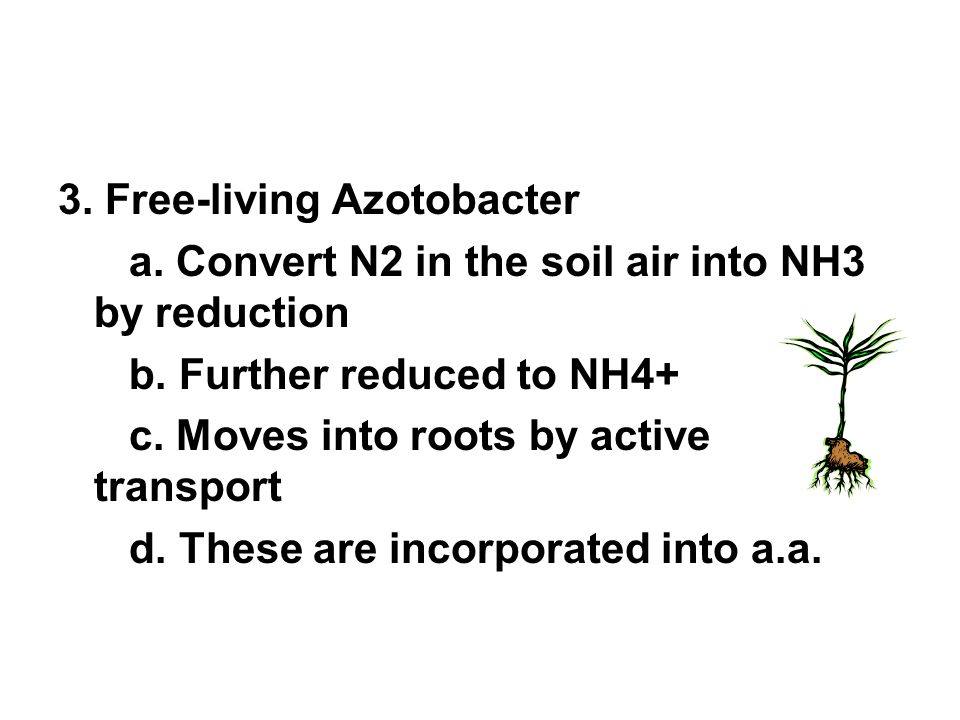 3.Free-living Azotobacter a. Convert N2 in the soil air into NH3 by reduction b.
