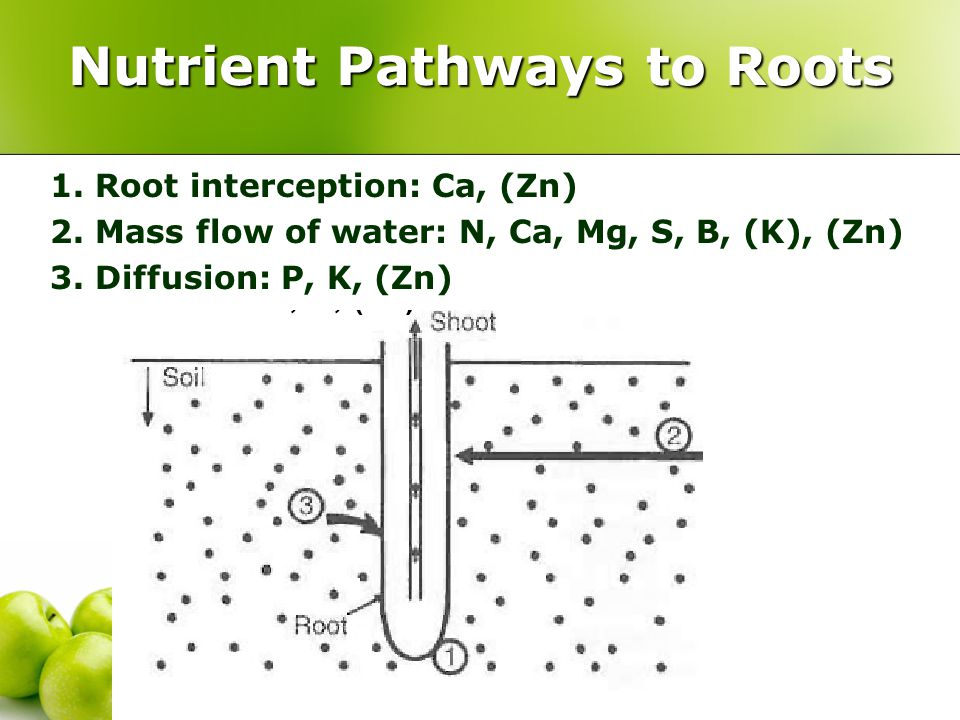 Nutrient Pathways to Roots 1. Root interception: Ca, (Zn) 2.
