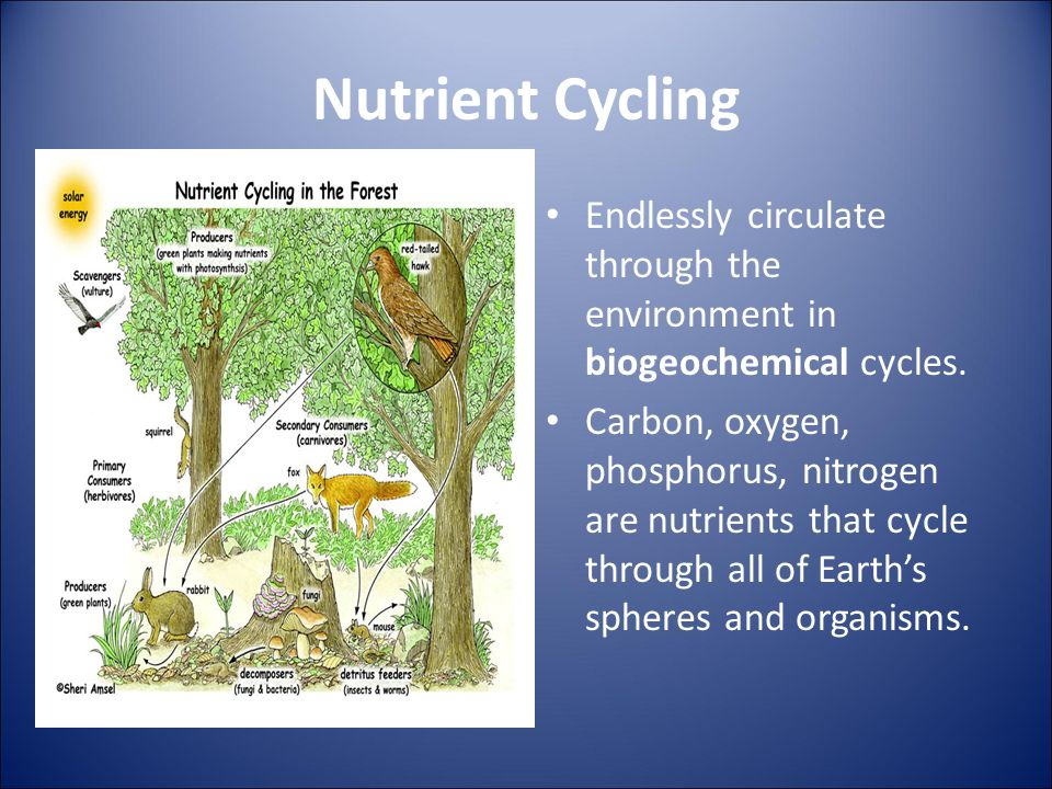 Nutrient Cycling Endlessly circulate through the environment in biogeochemical cycles. Carbon, oxygen, phosphorus, nitrogen are nutrients that cycle t