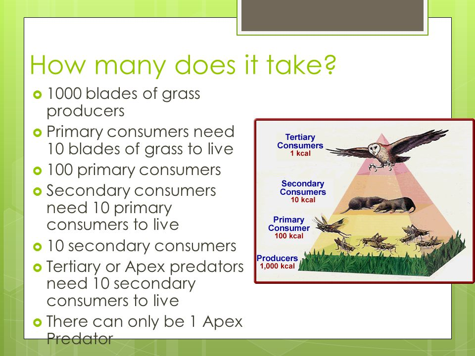 How many does it take?  1000 blades of grass producers  Primary consumers need 10 blades of grass to live  100 primary consumers  Secondary consum