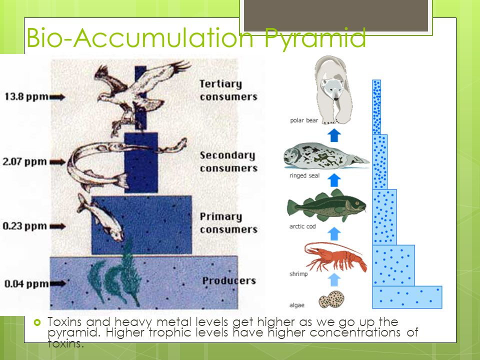 Bio-Accumulation Pyramid  Toxins and heavy metal levels get higher as we go up the pyramid. Higher trophic levels have higher concentrations of toxin