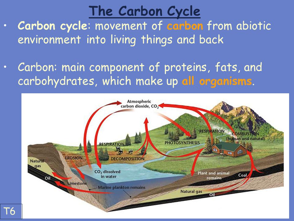 The Carbon Cycle Carbon cycle: movement of carbon from abiotic environment into living things and back Carbon: main component of proteins, fats, and c