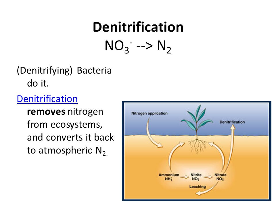 Denitrification NO 3 - --> N 2 (Denitrifying) Bacteria do it. Denitrification Denitrification removes nitrogen from ecosystems, and converts it back t