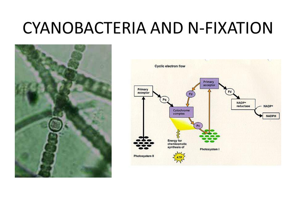 CYANOBACTERIA AND N-FIXATION