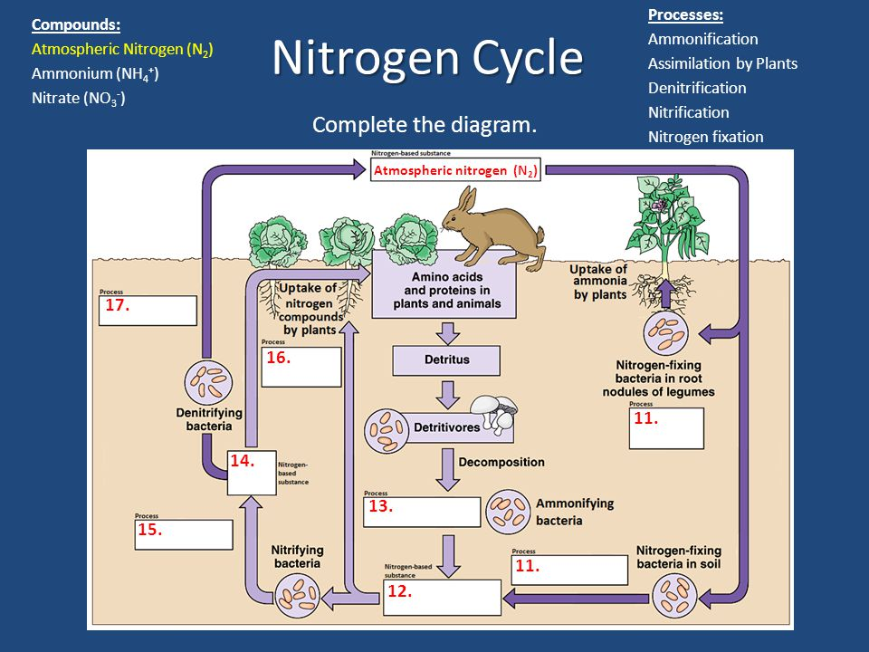 Nitrogen Cycle Complete the diagram. 11. 12. 13. 14. 16. 15. 17. Atmospheric nitrogen (N 2 ) Processes: Ammonification Assimilation by Plants Denitrif