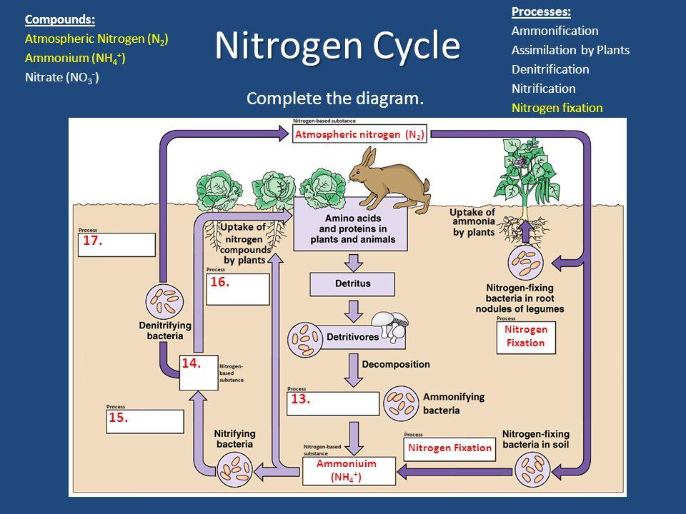 Nitrogen Cycle Ammoniuim (NH 4 + ) 13. 14. 16. 15. 17. Atmospheric nitrogen (N 2 ) Nitrogen Fixation Processes: Ammonification Assimilation by Plants