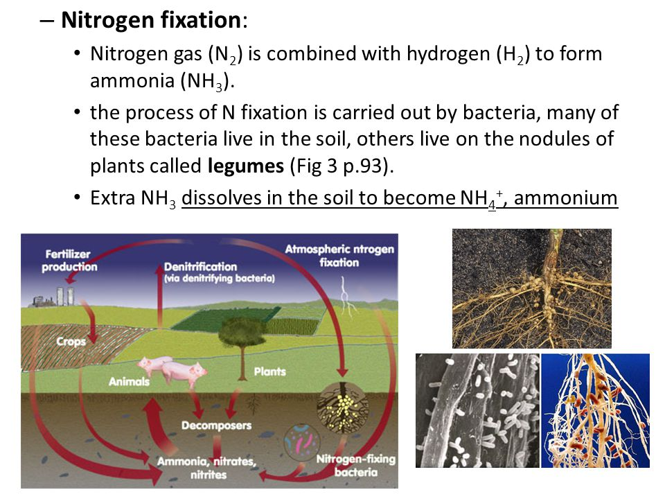 – Nitrogen fixation: Nitrogen gas (N 2 ) is combined with hydrogen (H 2 ) to form ammonia (NH 3 ). the process of N fixation is carried out by bacteri