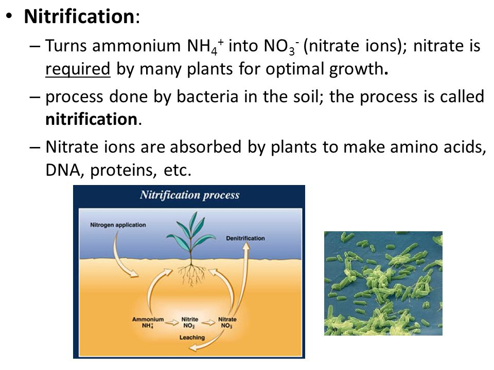 Nitrification: – Turns ammonium NH 4 + into NO 3 - (nitrate ions); nitrate is required by many plants for optimal growth. – process done by bacteria i
