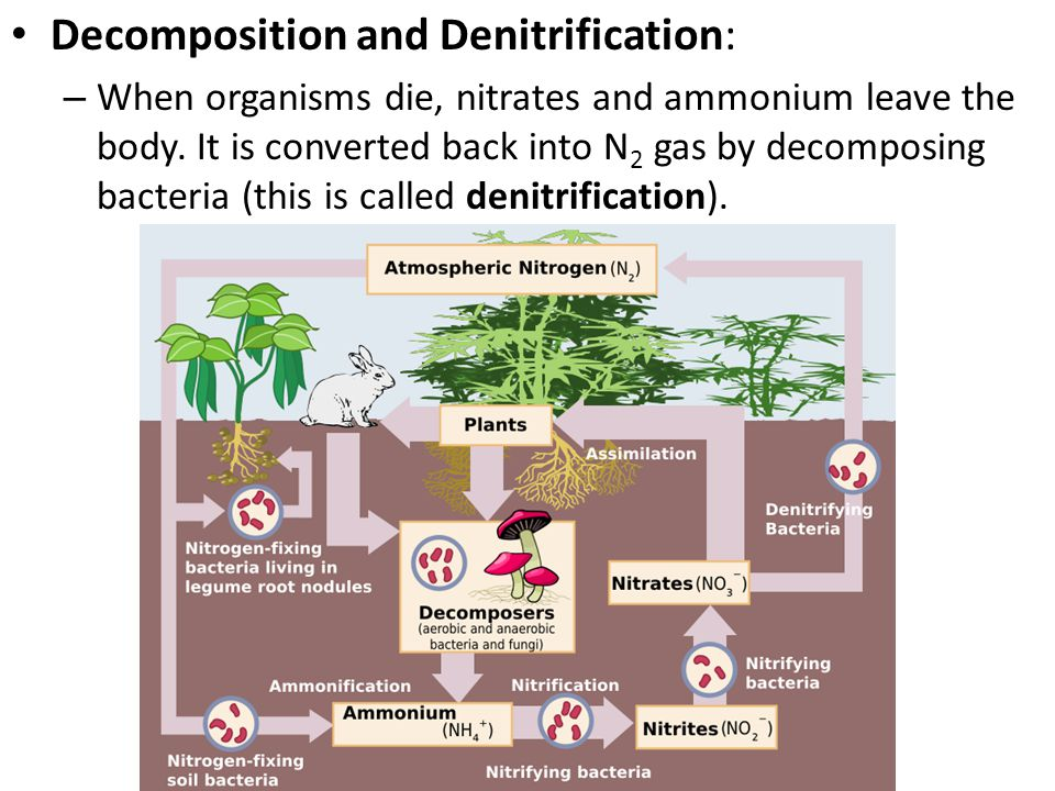 Decomposition and Denitrification: – When organisms die, nitrates and ammonium leave the body. It is converted back into N 2 gas by decomposing bacter