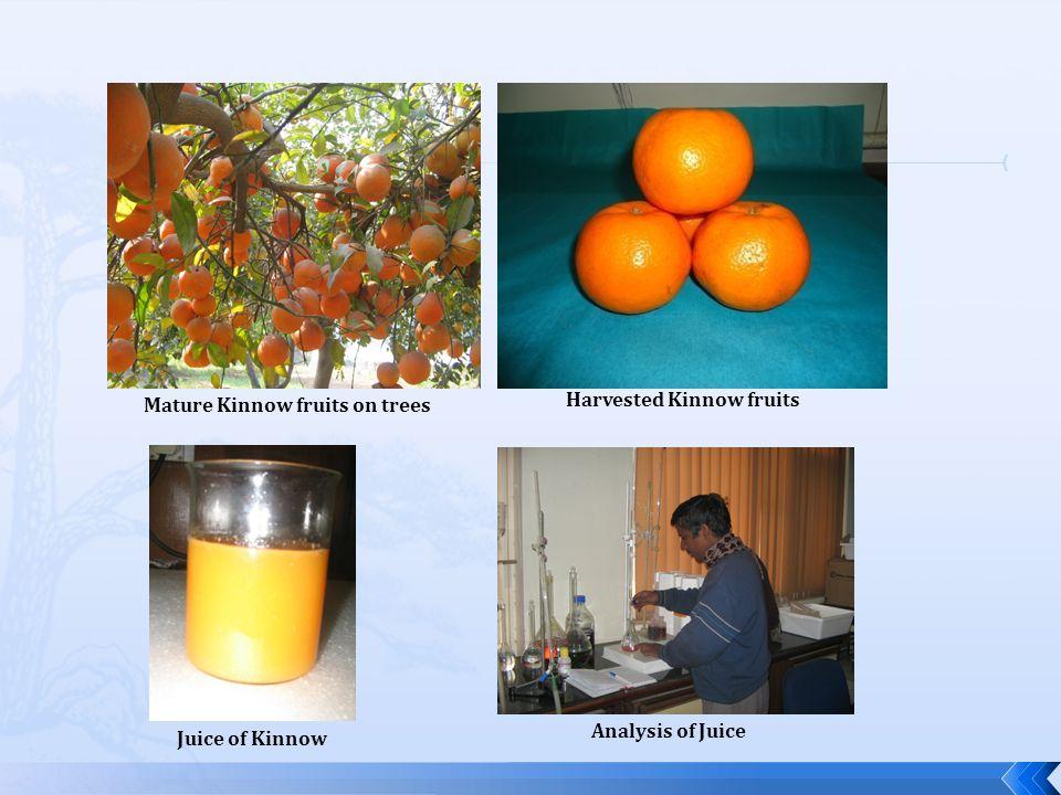 Mature Kinnow fruits on trees Harvested Kinnow fruits Juice of Kinnow Analysis of Juice
