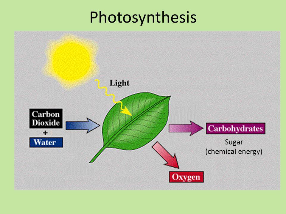 Photosynthesis Sugar (chemical energy)