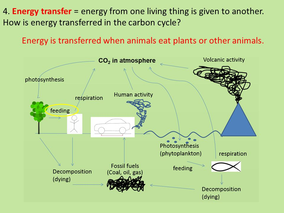 4. Energy transfer = energy from one living thing is given to another.