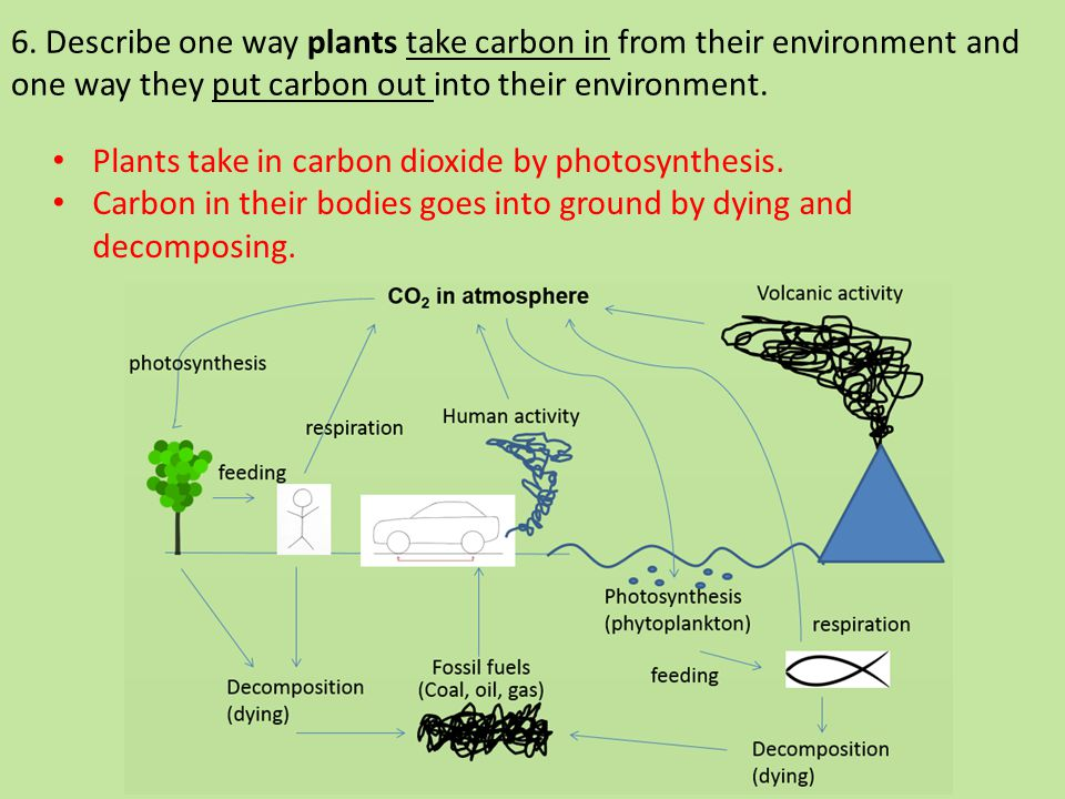 6. Describe one way plants take carbon in from their environment and one way they put carbon out into their environment. Plants take in carbon dioxide