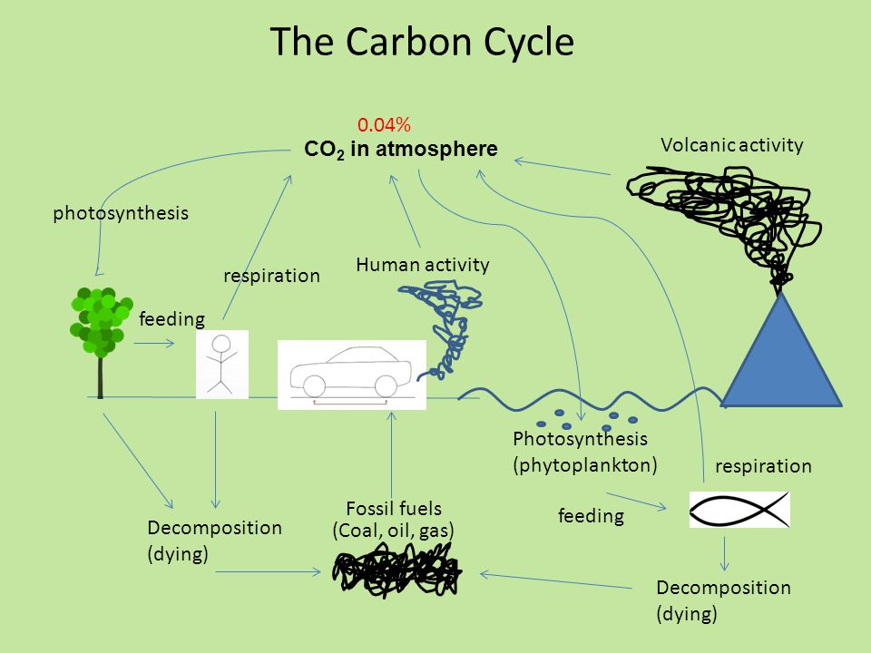The Carbon Cycle CO 2 in atmosphere photosynthesis respiration Decomposition (dying) feeding Human activity Fossil fuels Photosynthesis (phytoplankton) respiration Volcanic activity Decomposition (dying) (Coal, oil, gas) feeding 0.04%
