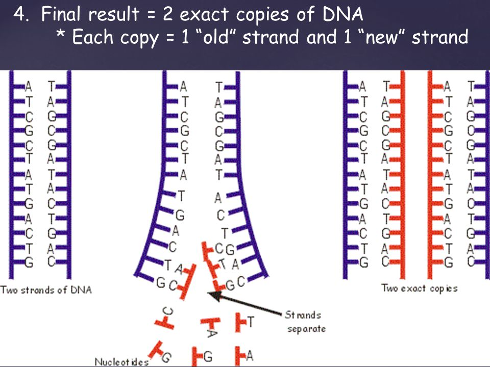4.Final result = 2 exact copies of DNA * Each copy = 1 old strand and 1 new strand