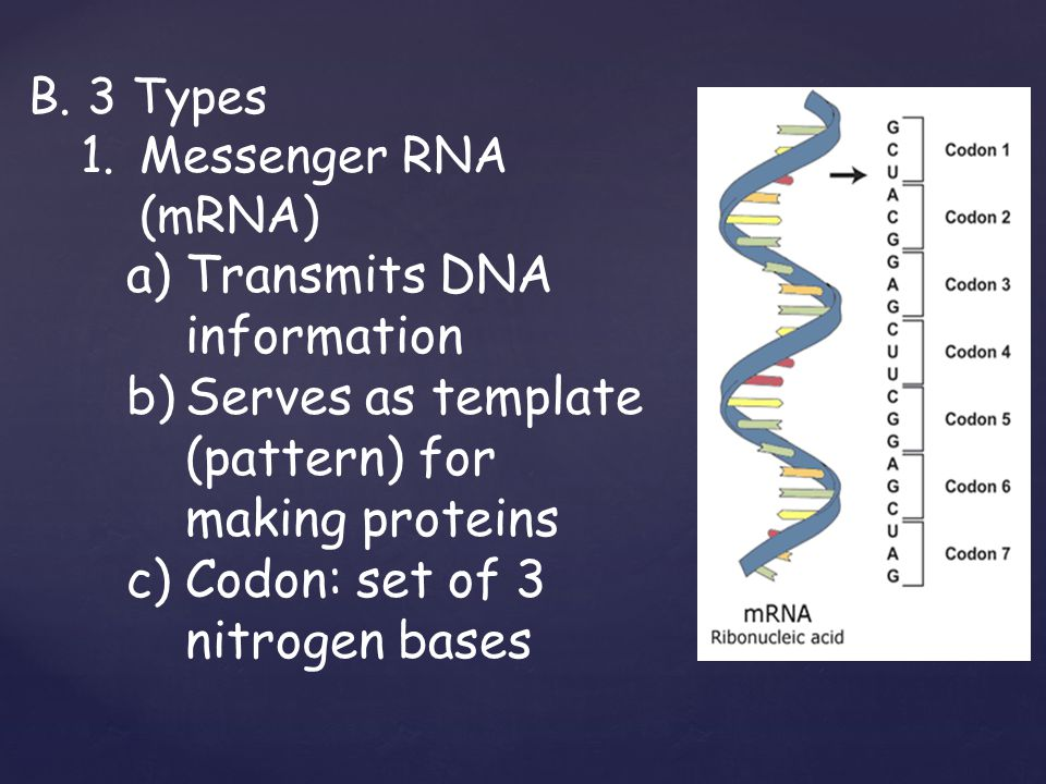 B.3 Types 1.Messenger RNA (mRNA) a)Transmits DNA information b)Serves as template (pattern) for making proteins c)Codon: set of 3 nitrogen bases