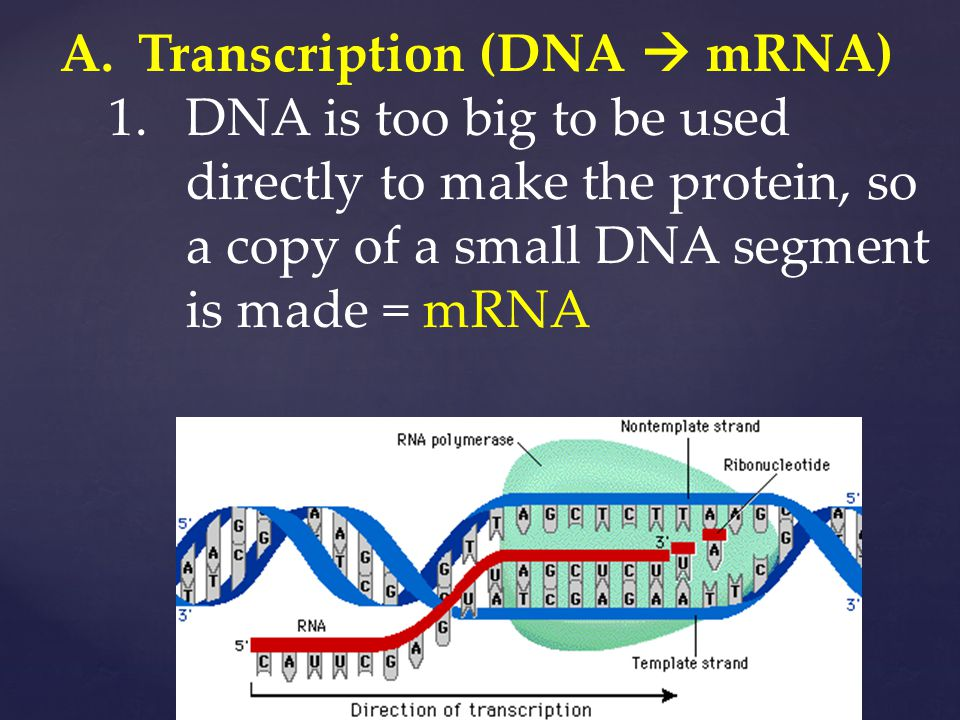 A.Transcription (DNA  mRNA) 1.DNA is too big to be used directly to make the protein, so a copy of a small DNA segment is made = mRNA