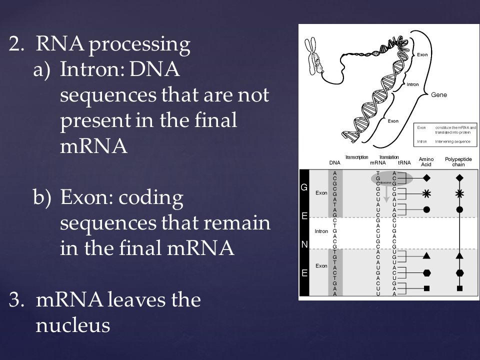 2.RNA processing a)Intron: DNA sequences that are not present in the final mRNA b)Exon: coding sequences that remain in the final mRNA 3.mRNA leaves the nucleus