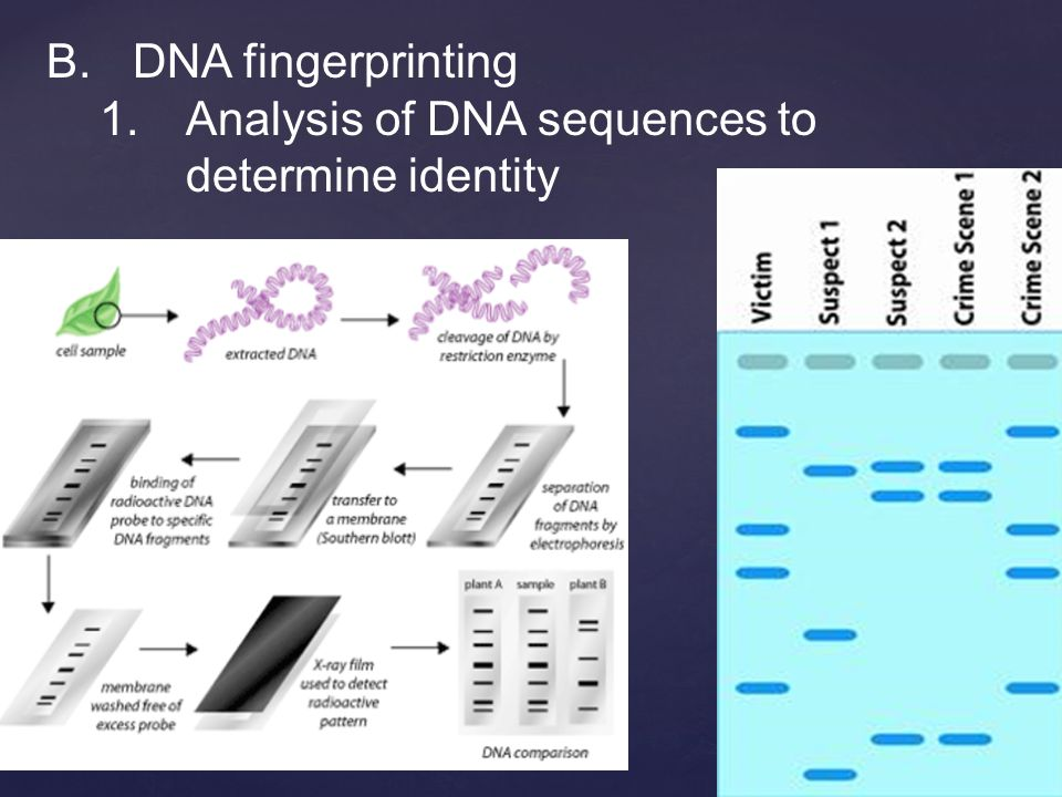 B.DNA fingerprinting 1.Analysis of DNA sequences to determine identity