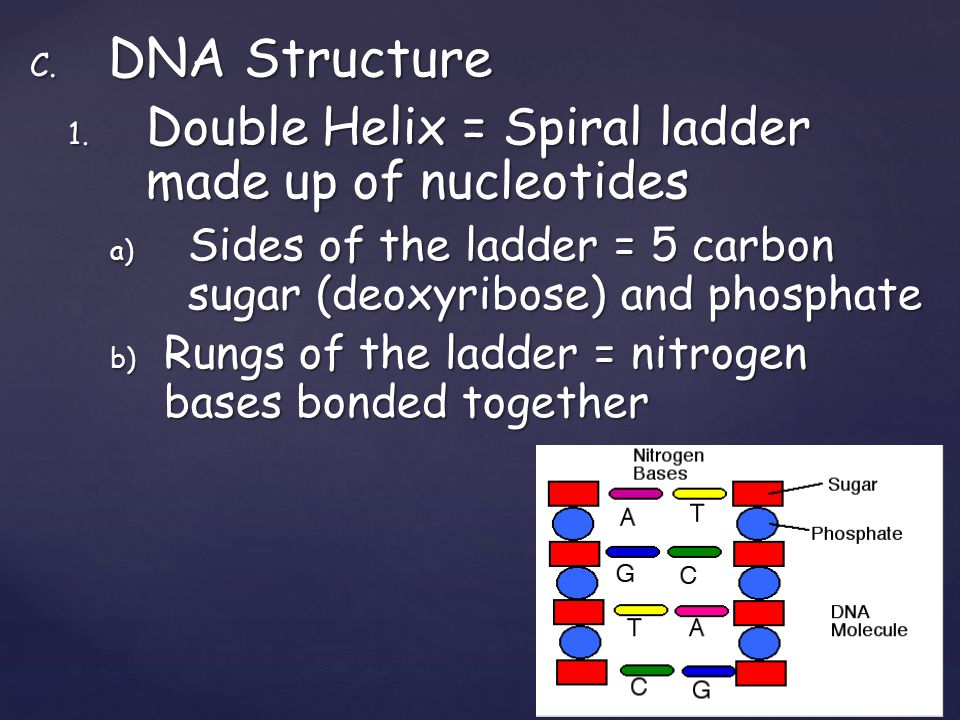 C. DNA Structure 1. Double Helix = Spiral ladder made up of nucleotides a) Sides of the ladder = 5 carbon sugar (deoxyribose) and phosphate b) Rungs o