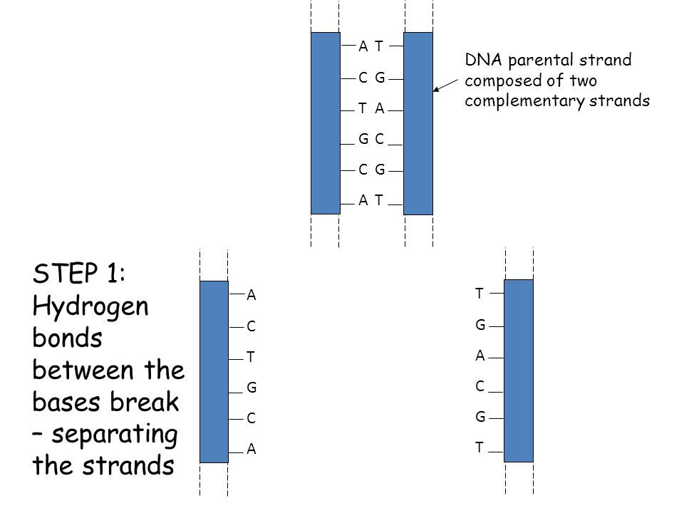 CFE Higher Biology DNA and the Genome ACTGCAACTGCA TGACGTTGACGT DNA parental strand composed of two complementary strands STEP 1: Hydrogen bonds between the bases break – separating the strands ACTGCAACTGCA TGACGTTGACGT