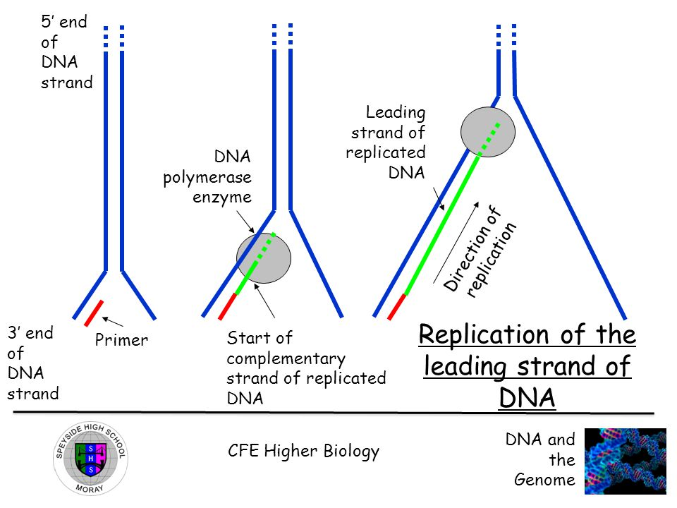 CFE Higher Biology DNA and the Genome DNA polymerase enzyme 3' end of DNA strand Primer 5' end of DNA strand Start of complementary strand of replicated DNA Direction of replication Leading strand of replicated DNA Replication of the leading strand of DNA