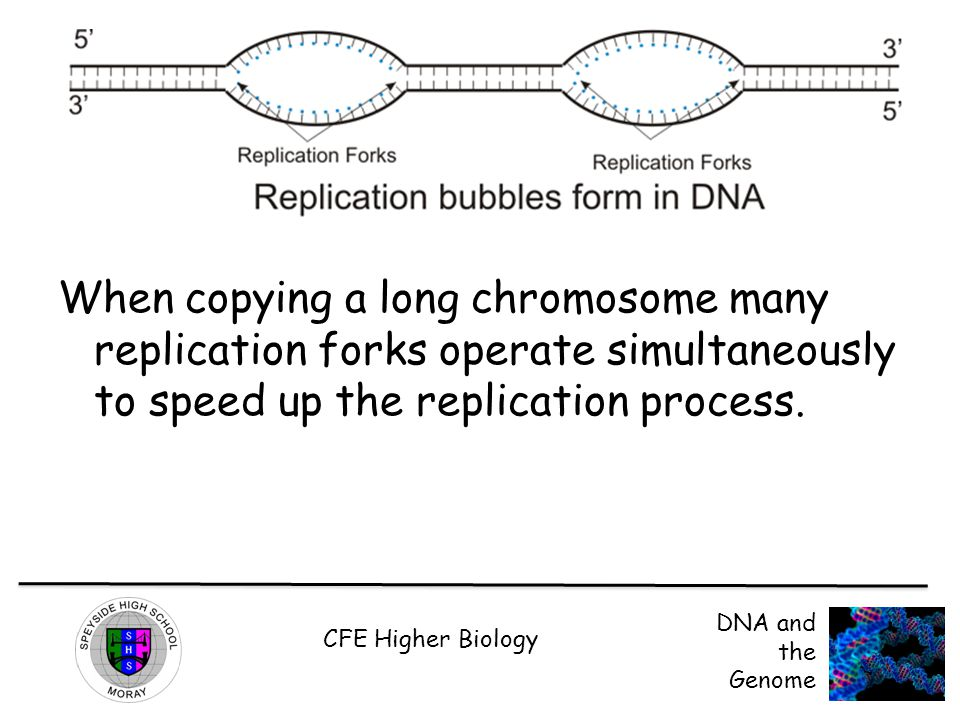 CFE Higher Biology DNA and the Genome When copying a long chromosome many replication forks operate simultaneously to speed up the replication process.