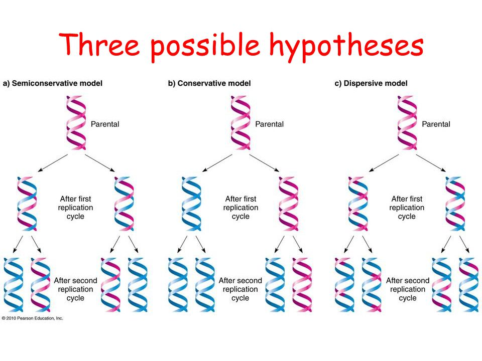 CFE Higher Biology DNA and the Genome Three possible hypotheses