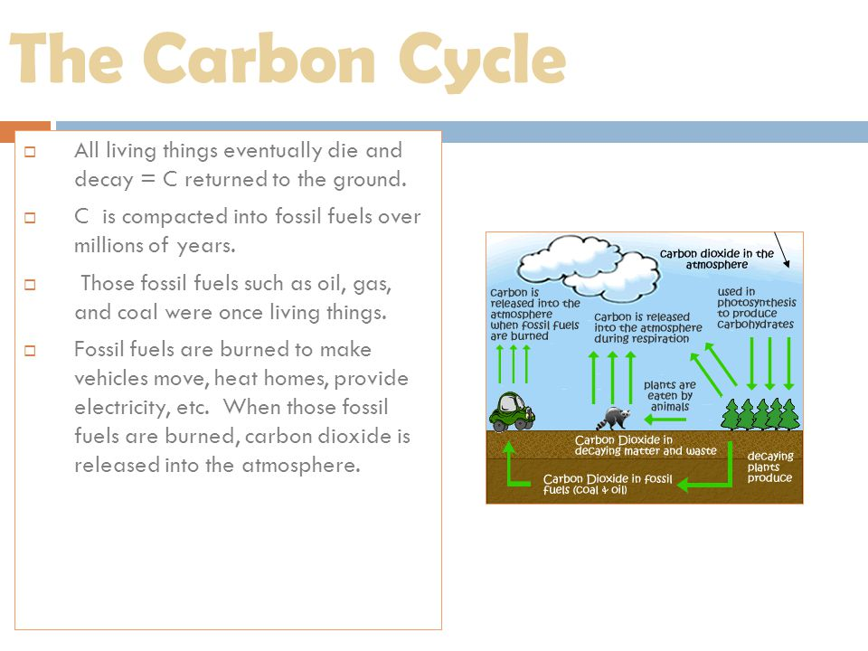 The Carbon Cycle  All living things eventually die and decay = C returned to the ground.  C is compacted into fossil fuels over millions of years. 