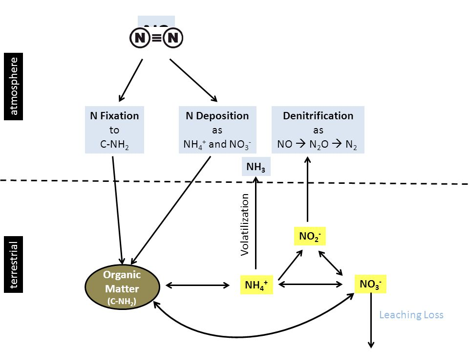 N2 N Fixation to C-NH 2 N Deposition as NH 4 + and NO 3 - atmosphere terrestrial Organic Matter (C-NH 2 ) NH 4 + NO 3 - NO 2 - Denitrification as NO  N 2 O  N 2 Leaching Loss NH 3 Volatilization