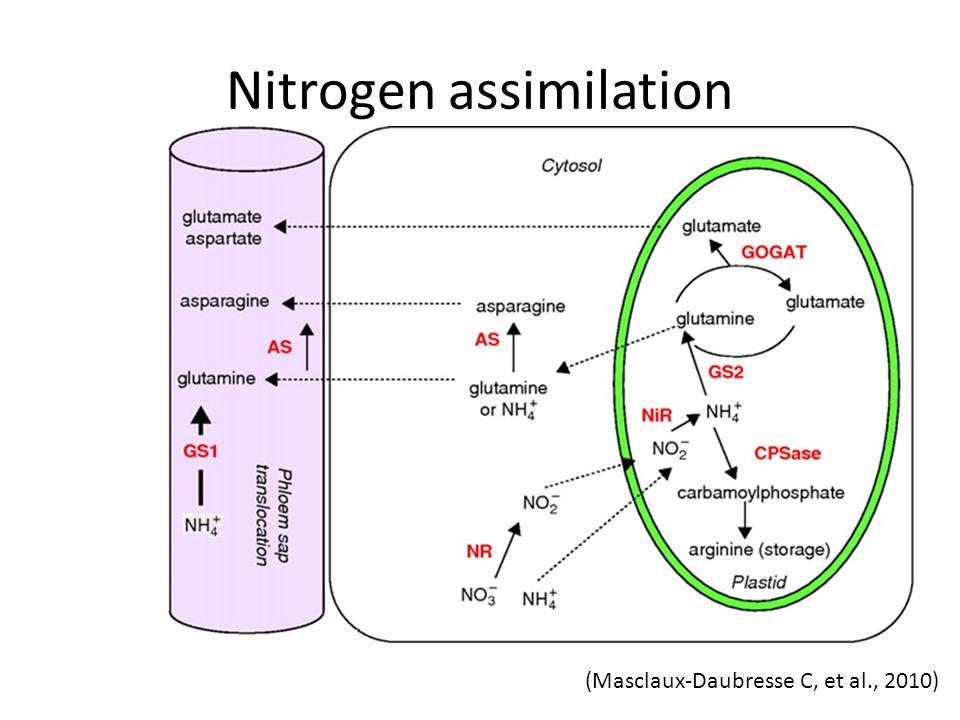 Nitrogen assimilation (Masclaux-Daubresse C, et al., 2010)